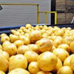 Подмосковье стало лидером по переработке картофеля в первой половине 2020 года
