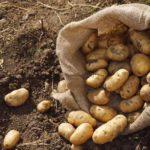 Урожай картофеля в Приморском крае вырос на 53% в 2020 году