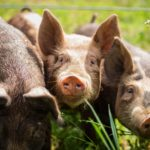 Генетики вывели породу устойчивых к трем болезням свиней