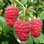 Малина, земляника, яблоки — в Нижегородской области развивают садоводство