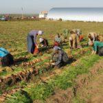 Сельские жители Татарстана вырастили богатый урожай из бесплатных семян