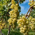 Урожай винограда на Кубани сохранили на уровне 2019 года