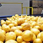 Производство и переработка картофеля: что показывает динамика последних лет