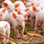 Эксперт рассказал, как увеличить производительность в свиноводстве
