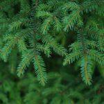 Экоидея: ученые предлагают делать подсластители из новогодних елок