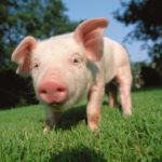 Минсельхоз ожидает роста производства продукции свиноводства в 2021 году более чем на 4%