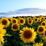 Минсельхоз заявил, что урожай подсолнечника в России к 2024 году вырастет до 17,4 млн тонн