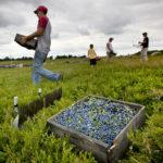 Липецкая область в 2020г увеличила сбор плодов и ягод на 20%