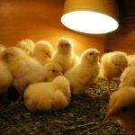 Россия ввела запрет на ввоз птицы из зараженных регионов Европы