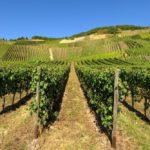 Более 310 гектаров виноградных насаждений заложат в Ставрополье