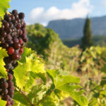 Площадь посадки виноградников увеличилась в Крыму