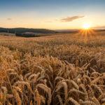 В России уменьшится площадь под посевами пшеницы