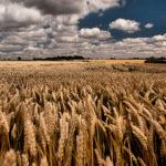 Россия с 17 июня повысит экспортную пошлину на пшеницу