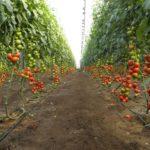 Производство тепличных овощей в России выросло на 8%