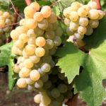 Урожай винограда в Крыму может вырасти на 15-20%