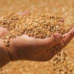 Из-за большого урожая пшеница просядет в цене