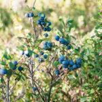 Аграрии Подмосковья с июля приступят к сбору голубики