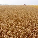 На Кубани собрали 9,5 млн тонн зерна