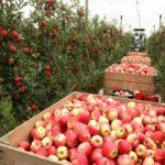 Уборка раннего яблока стартовала в Краснодарском крае